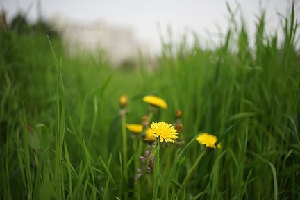 Photo of dandelion plant