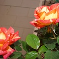 Two beautiful roses