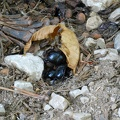 Common dor beetle