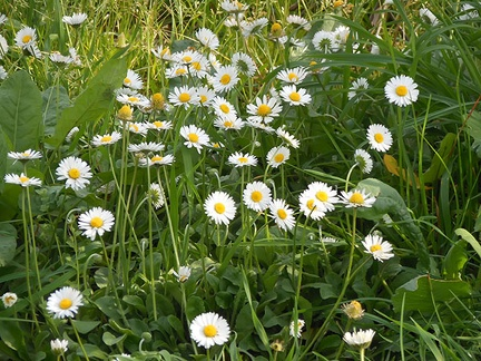 Daisies that bloom all summer