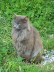 Gray fluffy cat breed