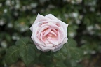 Pale pink rose varieties