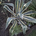 Agave americana plant, american agave
