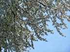 Blossoming cherry, branches of white flowers