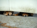 Dogs lying with back legs out,images of dogs lying down