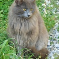 Fluffy gray cat breed