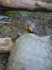 Red eared turtle pet