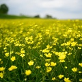 Yellow flowers on green grass