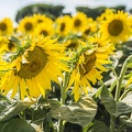 Free photos of sunflowers