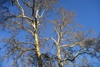 Winter bare trees
