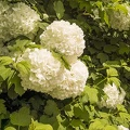 Big white flowers on tree,green plant with big white flowers