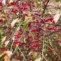 Shrub with bright pink berries