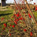 Wild shrub with red berries