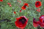 Pictures of red poppies flowers, poppies in a field