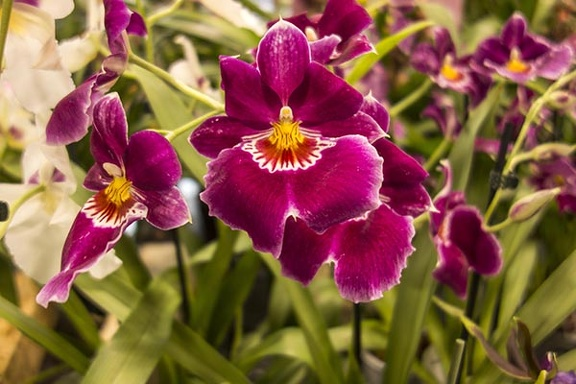 The miltonia,violet orchid flower