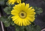 Yellow gerbera flower