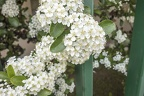 Apple tree in flower, apple tree with white flowers