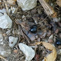 Black scarab beetle, scarab insect