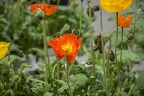 Colorful poppies, free images of poppies