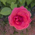 Dark pink rose flower,single pink rose flower