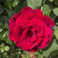 Very beautiful red rose,single red rose flower