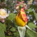 Yellow flowers in bloom now, yellow rose bud