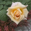 Yellow rose love,pink and yellow roses