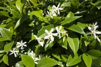White jasmine flower images