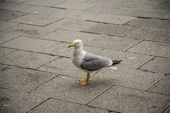 Yellow legged gull photos