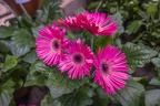 Pink daisies images
