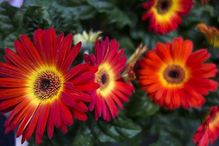 Red yellow daisy like flower