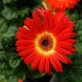 Single daisy flower, red and yellow daisy