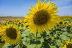 Yellow sunflower images