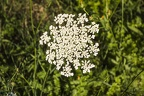 Wild cow parsley photography,wild white cow parsley