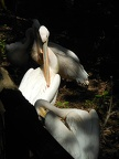 White pelican type birds