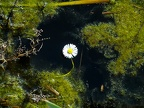 The white daisy in water