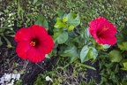 Pictures of red hibiscus flowers