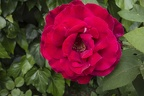 Big red rose plant garden roses, red rose bud