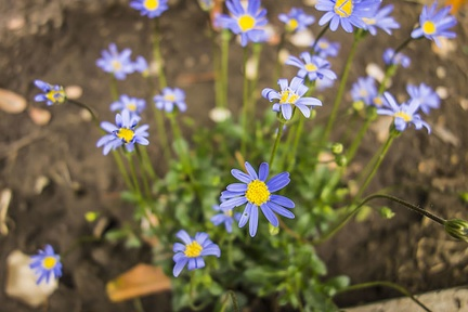 Blue marguerite flower, Daisy flower