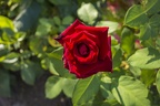 Dark red rose bud, red rose garden