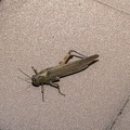 Grasshopper insect free photo
