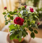 Mini red rose bush, miniature roses flowers