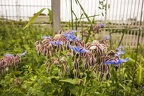 Small blue borage flowers