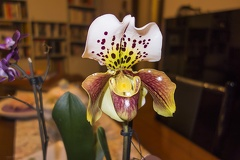 The lady slipper orchid flower