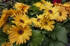 Beautiful yellow gerbera daisies flowers with leaves
