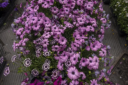 Light purple Cape marguerite daisies flowers