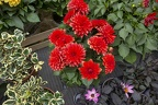Bush of Dahlia hypnotica red flowers