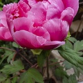 Beautiful pink rose peony flowering time