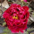 Bud single red peony flower