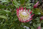 Giant protea plant, The King protea flower bud